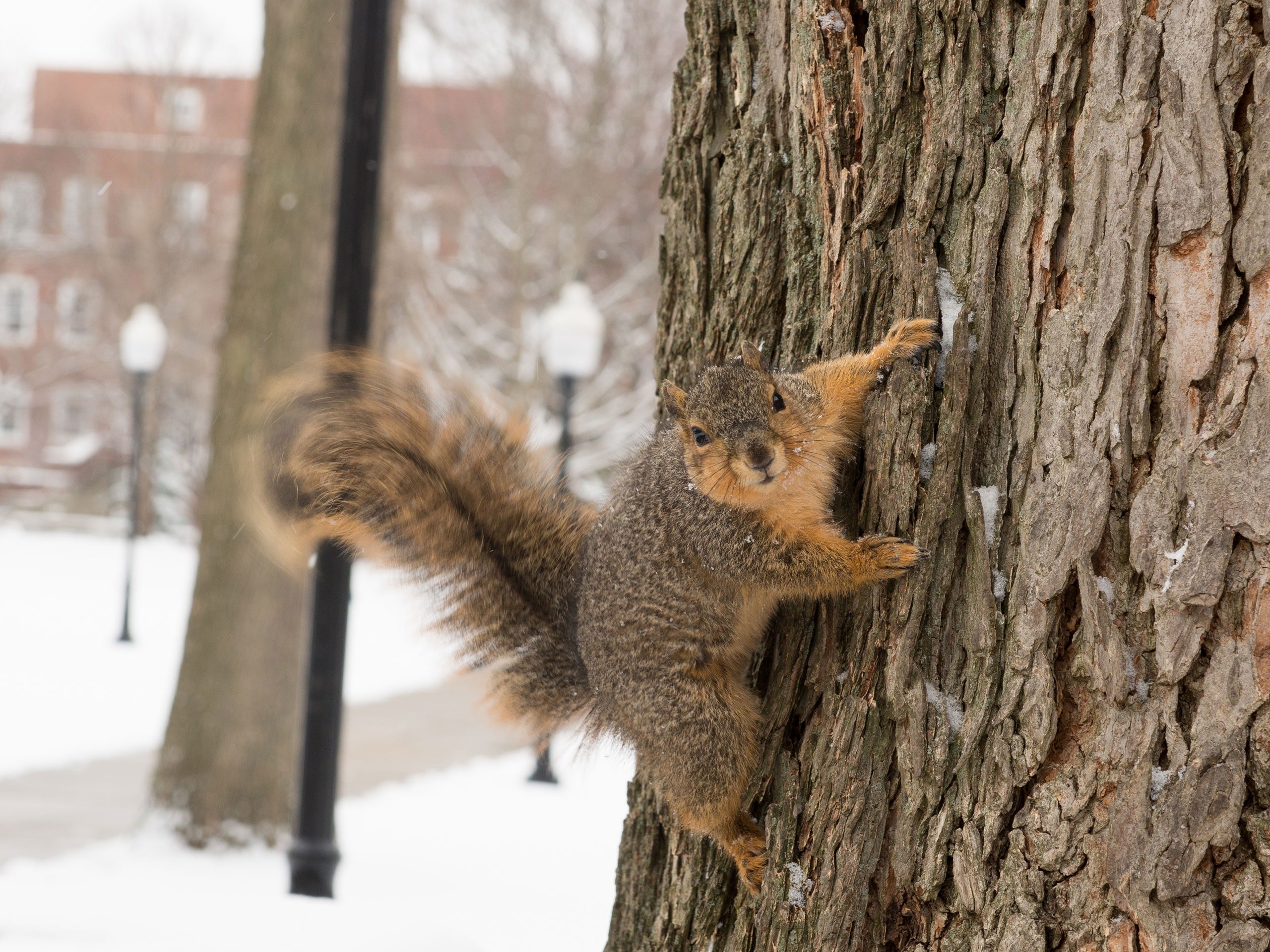 Squirrel hanging on the side of a tree in winter, engaging the viewer.